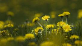 From wish to weed: Our love-hate relationship with dandelions