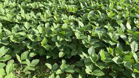 History of the soybean: Learn about soy's journey in U.S.