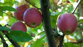 Producers need to stay proactive to manage the risk of apple disease